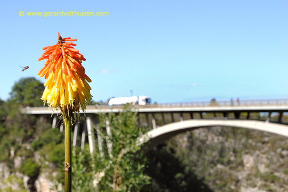 A bee near the Bloukrans River Bridge at Storms River, in the Tsitsikamma